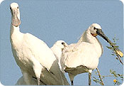 Spoonbill Bird - Bharatpur Bird Sanctury